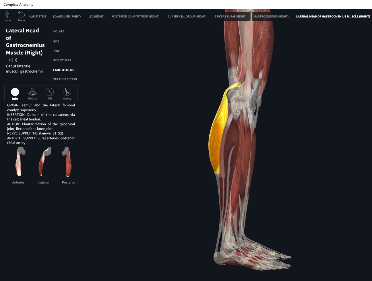 Muscles: Gastrocnemius. – Anatomy & Physiology