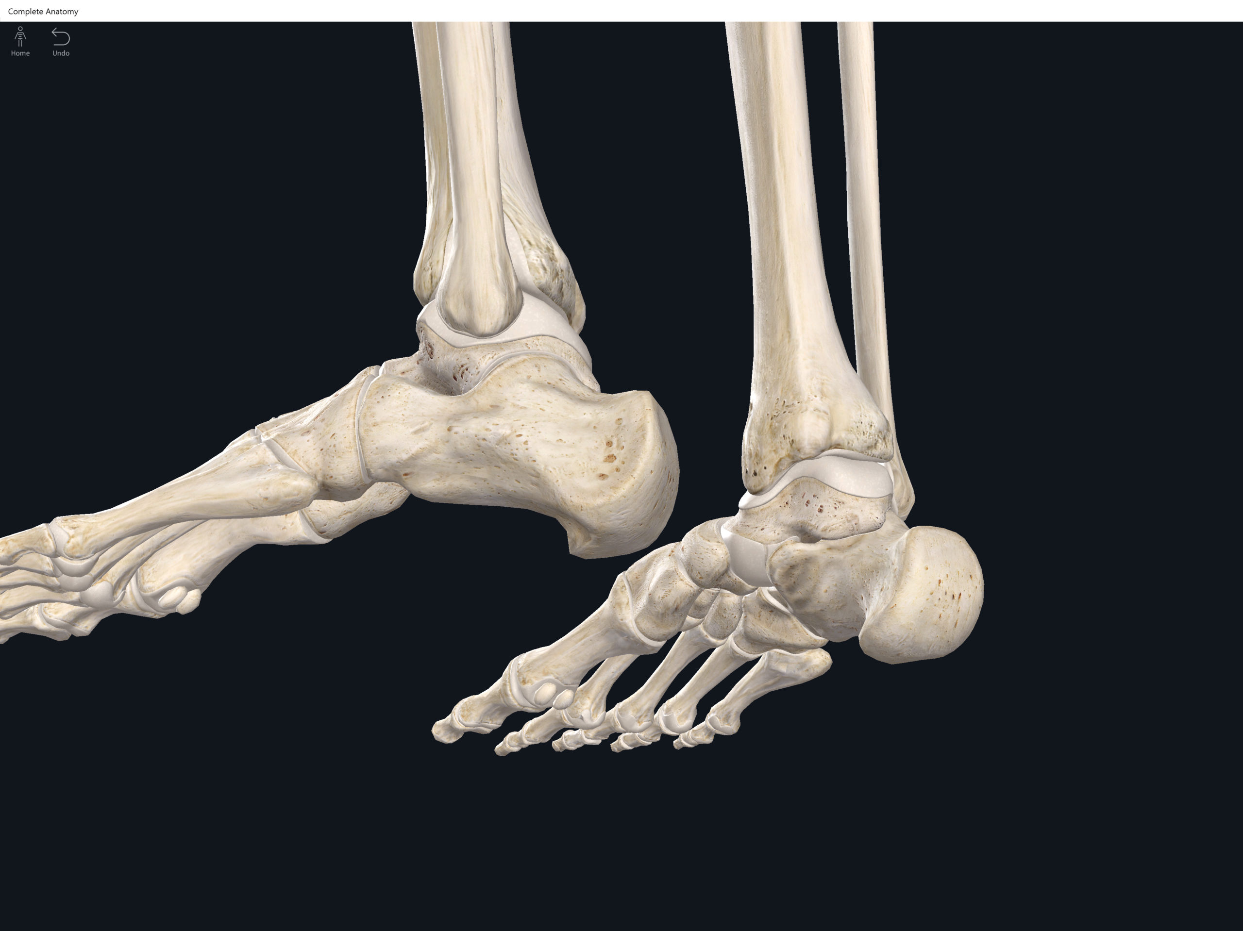 1 U2014 Bony Anatomy Of The Foot And Ankle Manual Guide